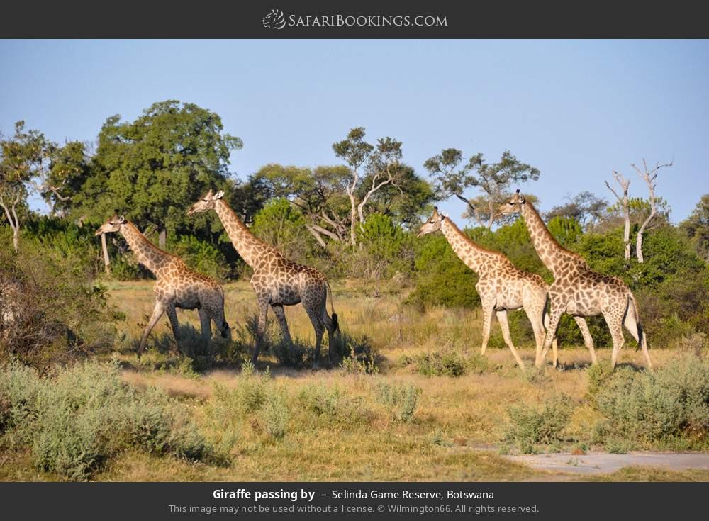 Giraffe passing by in Selinda Game Reserve, Botswana