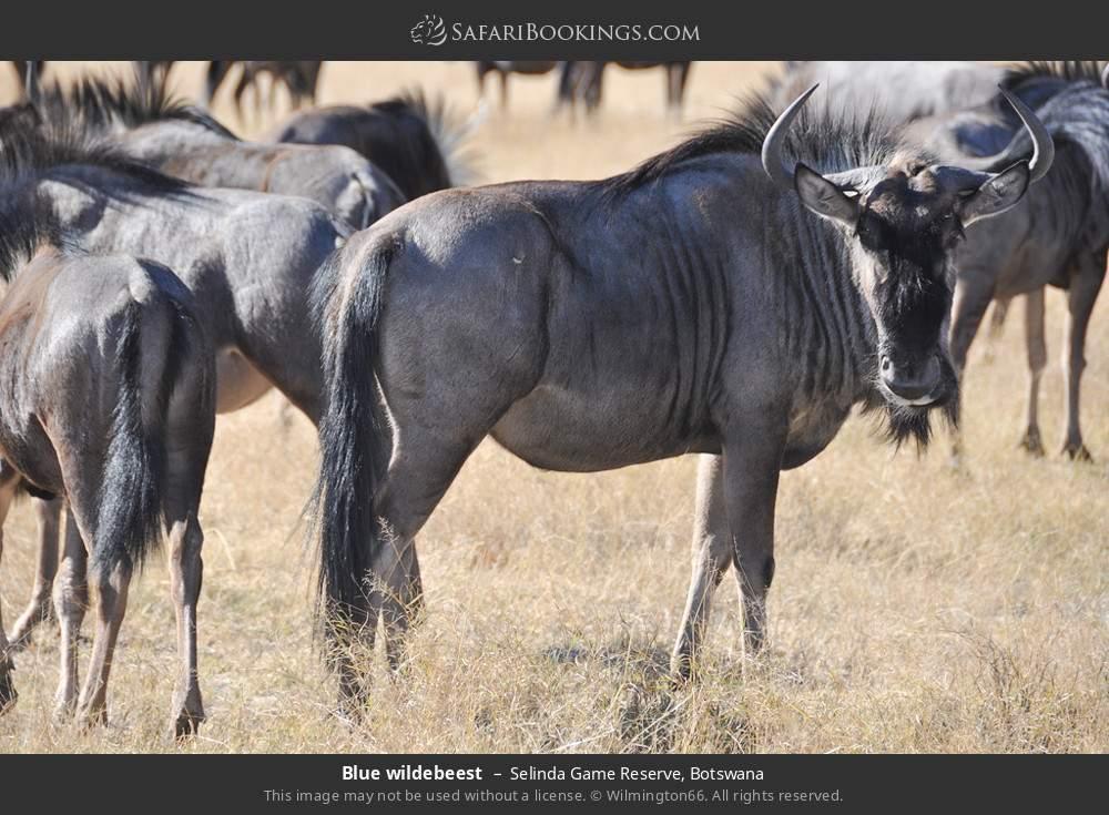 Blue wildebeest in Selinda Game Reserve, Botswana