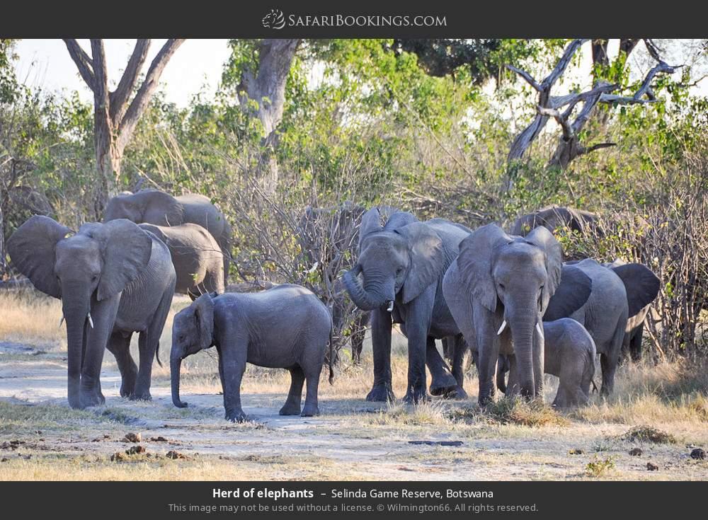 Herd of elephants in Selinda Game Reserve, Botswana