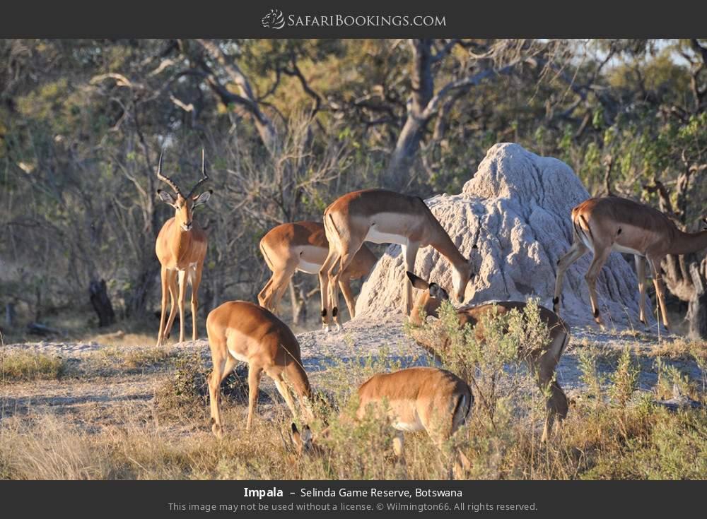 Impala in Selinda Game Reserve, Botswana