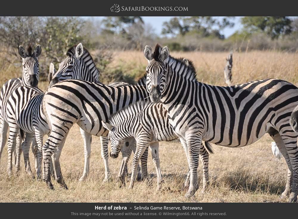 Herd of zebra in Selinda Game Reserve, Botswana