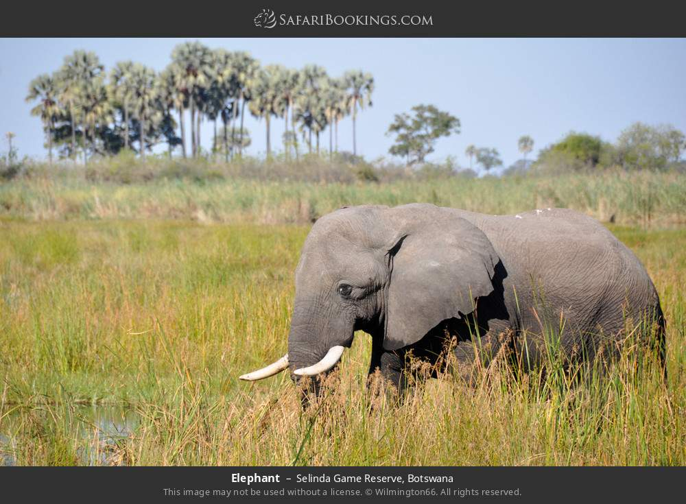 Elephant in Selinda Game Reserve, Botswana