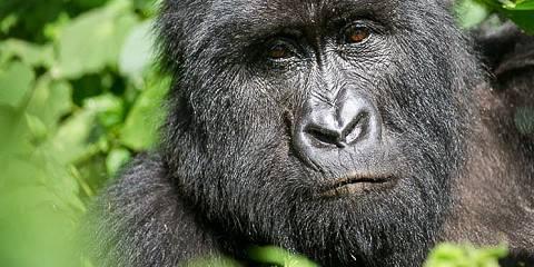 3-Day Low Land Gorillas Tour in Kahuzi Biega
