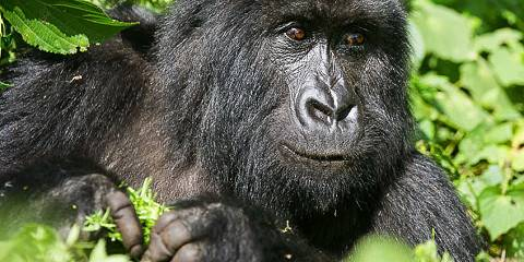 4-Day Congo Gorilla and Nyiragongo/Le Petit Virunga