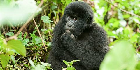3-Day Gorilla Tracking Safari- Midrange