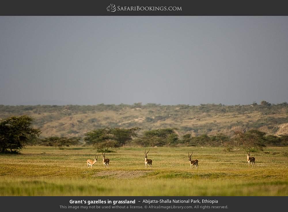 Grant's gazelles in grassland in Abijatta-Shalla National Park, Ethiopia