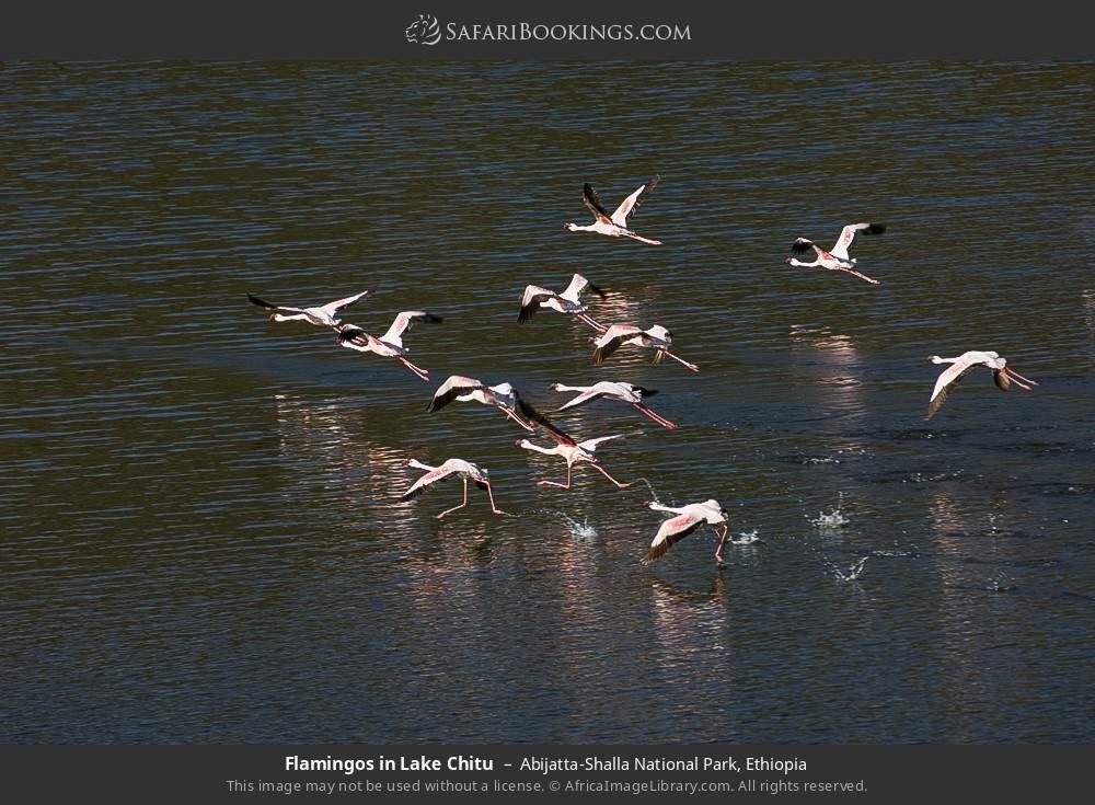 Flamingos in Lake Chitu in Abijatta-Shalla National Park, Ethiopia