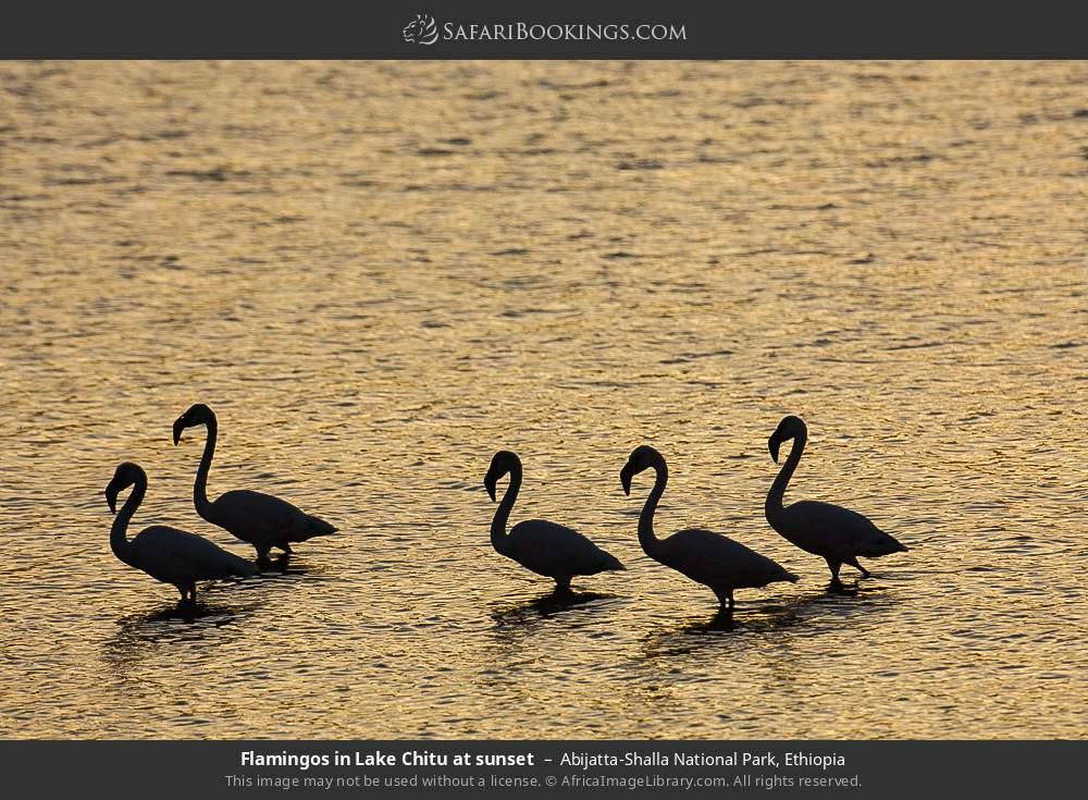 Flamingos in Lake Chitu at sunset in Abijatta-Shalla National Park, Ethiopia
