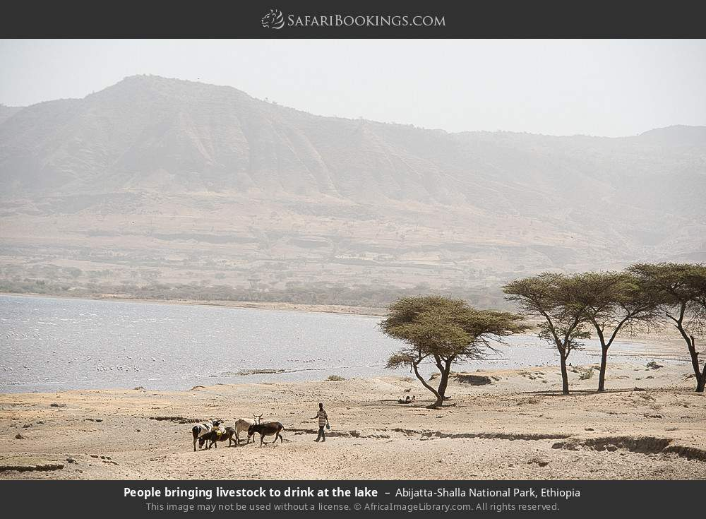 People bringing livestock to drink at the lake in Abijatta-Shalla National Park, Ethiopia