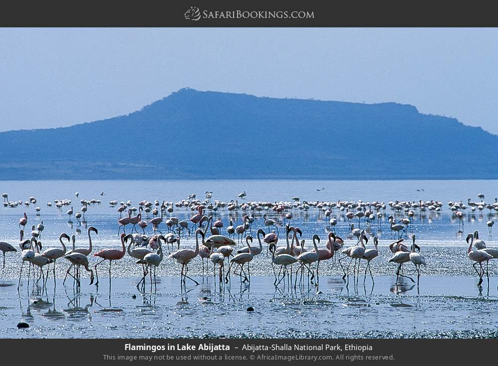 Flamingos in Lake Abijatta in Abijatta-Shalla National Park, Ethiopia