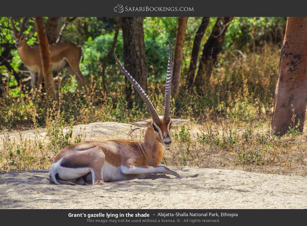 Grant's gazelle lying in the shade in Abijatta-Shalla National Park, Ethiopia