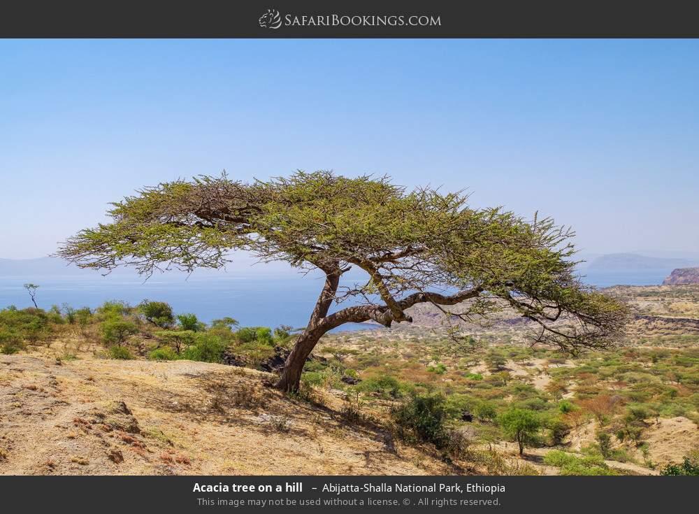 Acacia tree on a hill  in Abijatta-Shalla National Park, Ethiopia