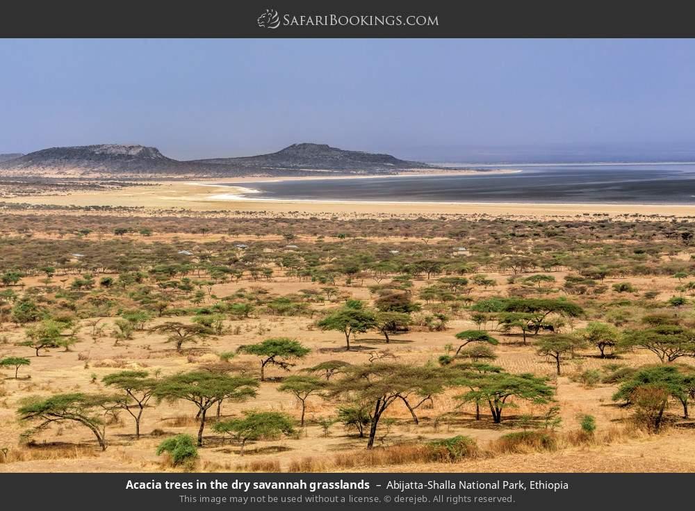 Acacia trees in the dry savannah grasslands in Abijatta-Shalla National Park, Ethiopia