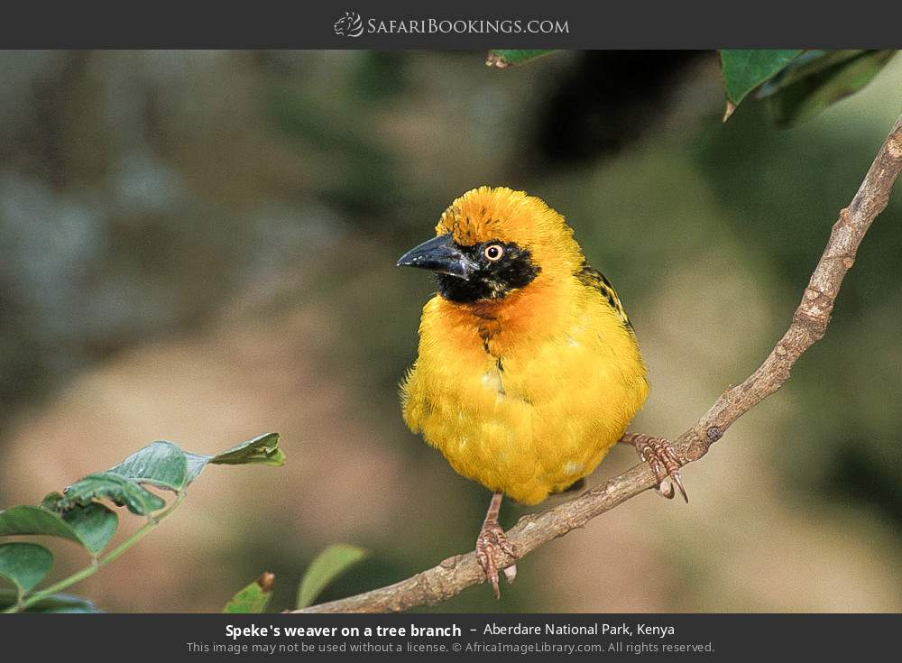 Speke's weaver on a tree branch in Aberdare National Park, Kenya