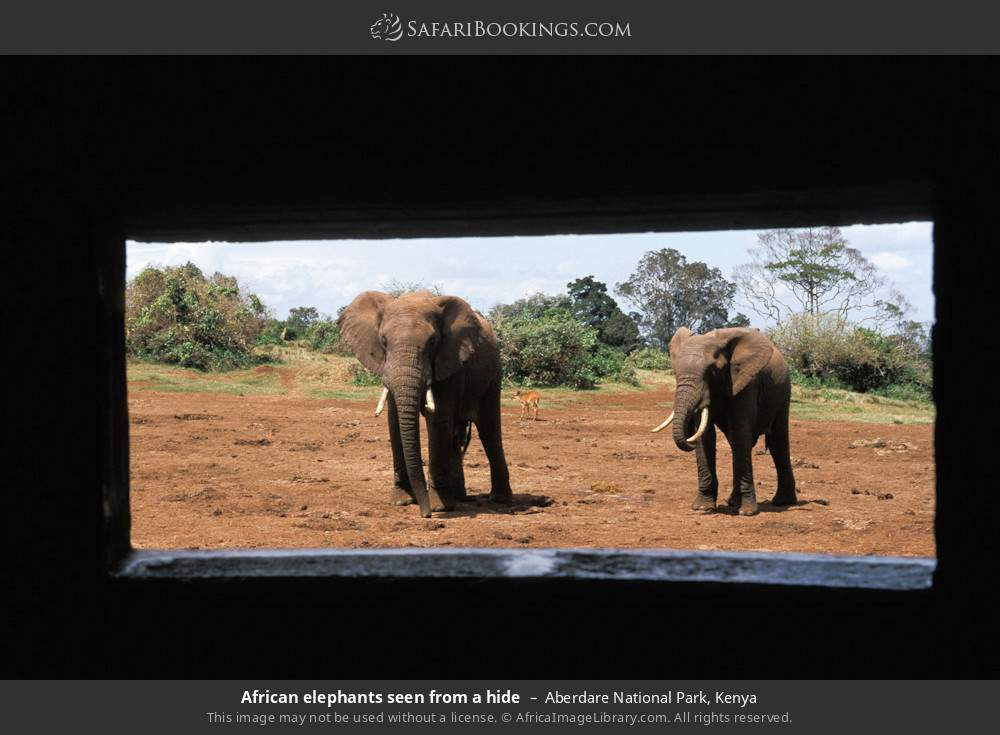 African elephants seen from a hide in Aberdare National Park, Kenya