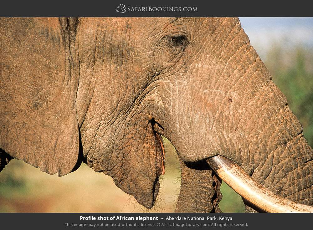 Profile shot of African elephant in Aberdare National Park, Kenya