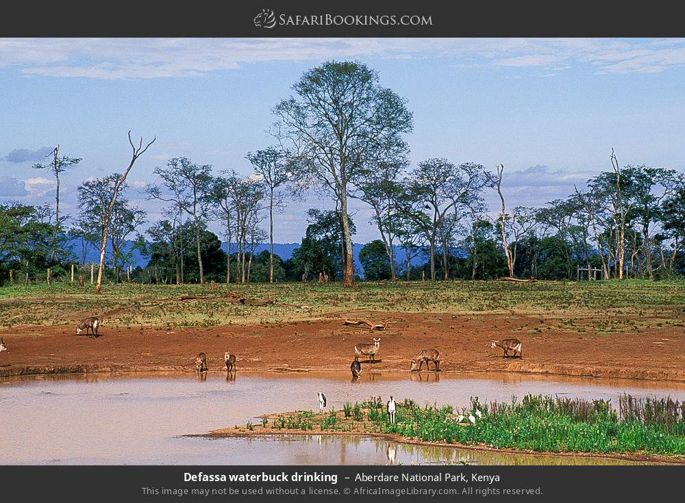Defassa waterbuck drinking in Aberdare National Park, Kenya