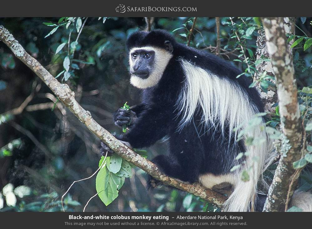 Guereza Black and White Colobus monkey eating in Aberdare National Park, Kenya