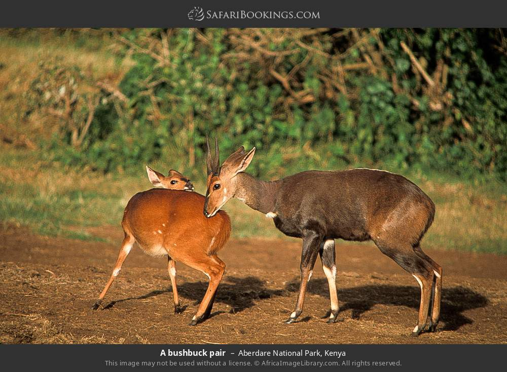 A bushbuck pair in Aberdare National Park, Kenya