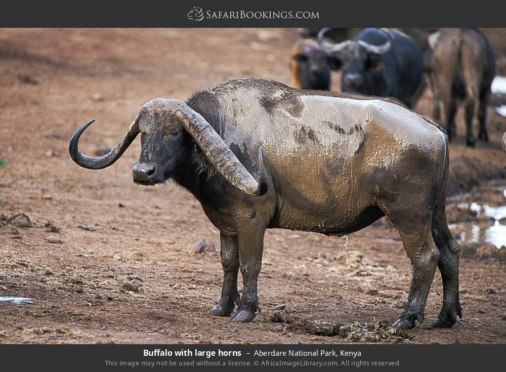Buffalo with large horns in Aberdare National Park, Kenya