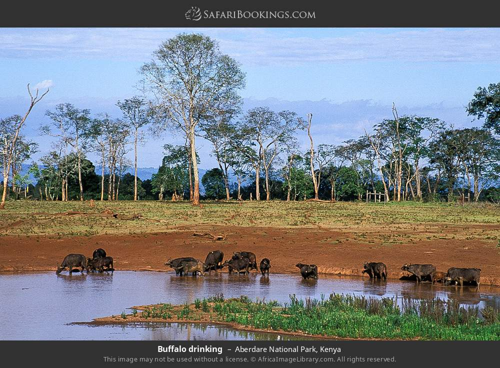 Buffalo drinking in Aberdare National Park, Kenya