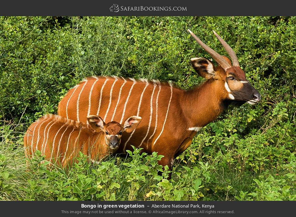 Bongo in green vegetation in Aberdare National Park, Kenya