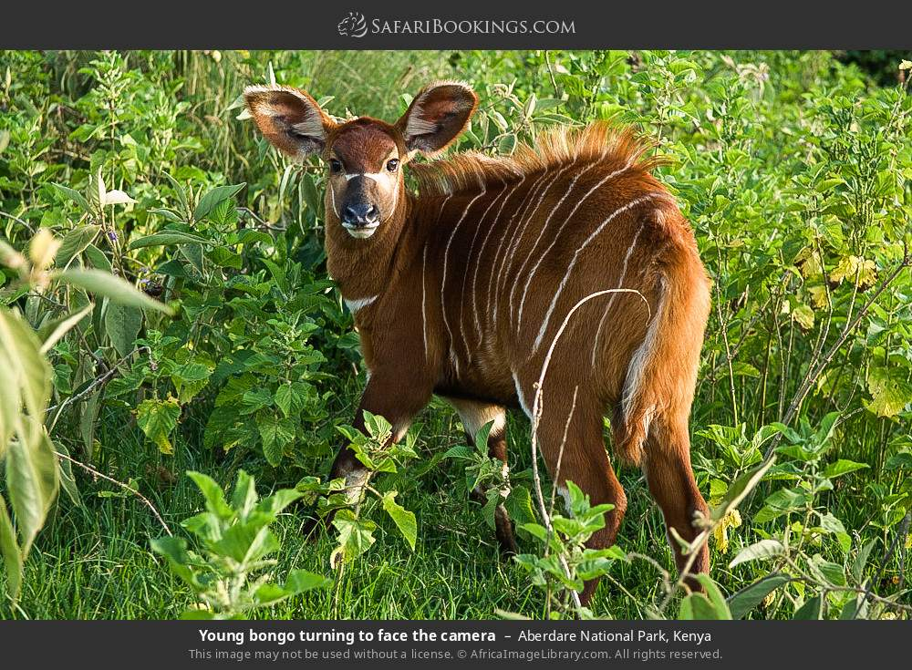 Young bongo turning to face the camera in Aberdare National Park, Kenya