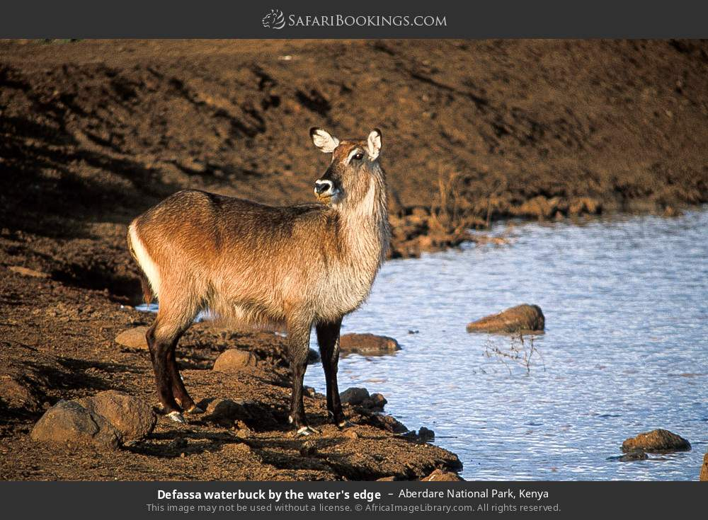 Defassa waterbuck by the water's edge in Aberdare National Park, Kenya