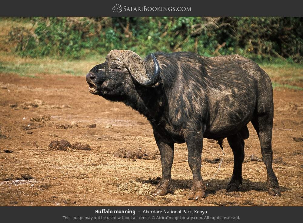 Buffalo moaning in Aberdare National Park, Kenya