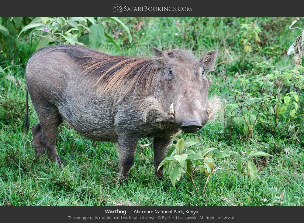 Warthog in Aberdare National Park, Kenya