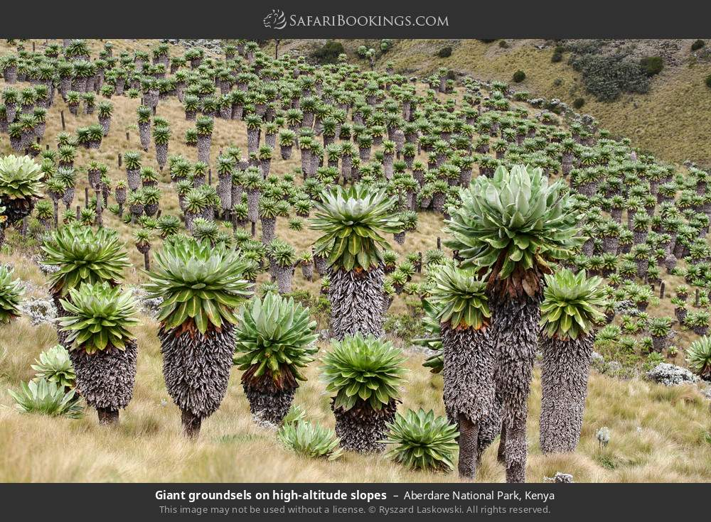 Giant groundsels on high altitude slopes in Aberdare National Park, Kenya