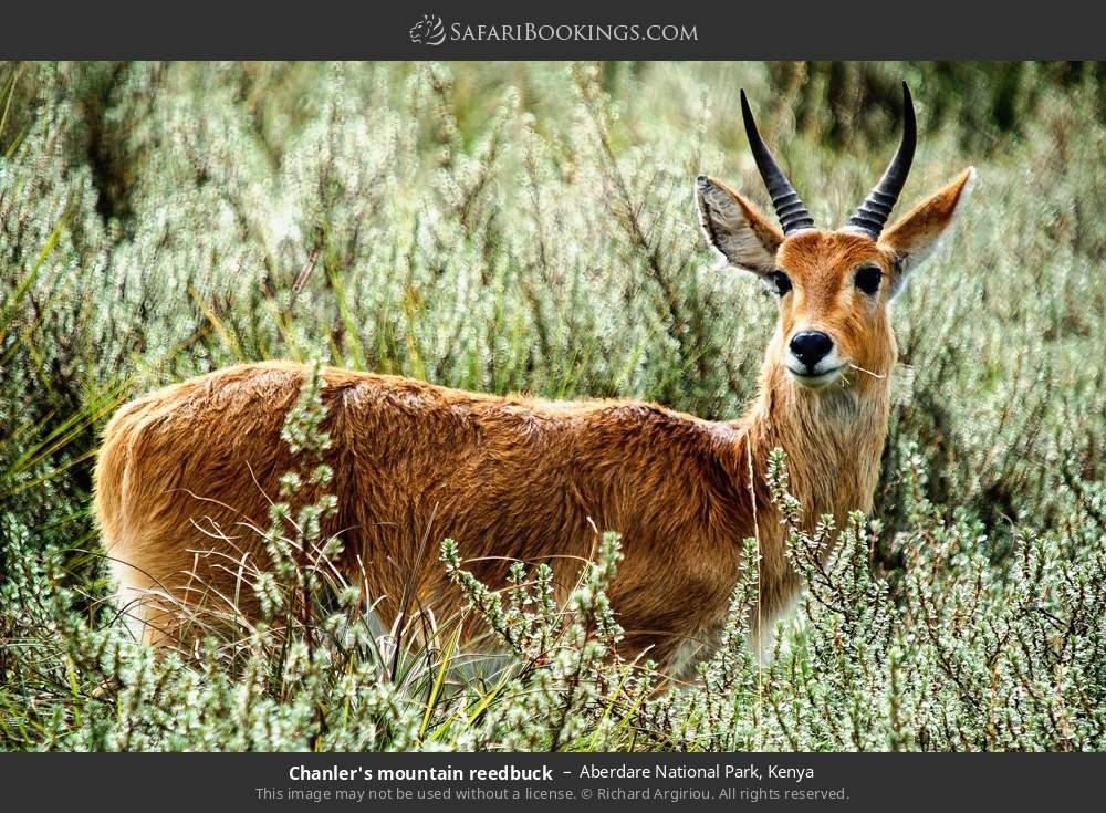 Chandlers mountain reedbuck in Aberdare National Park, Kenya