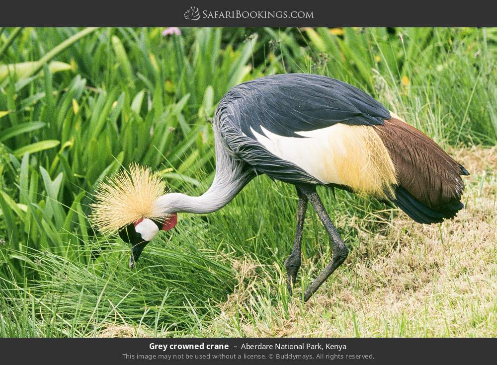 Crowned crane in Aberdare National Park, Kenya
