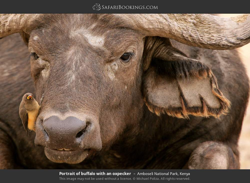 Portrait of buffalo with an oxpecker in Amboseli National Park, Kenya