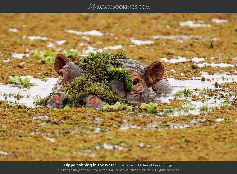 Hippo bobbing in the water in Amboseli National Park, Kenya