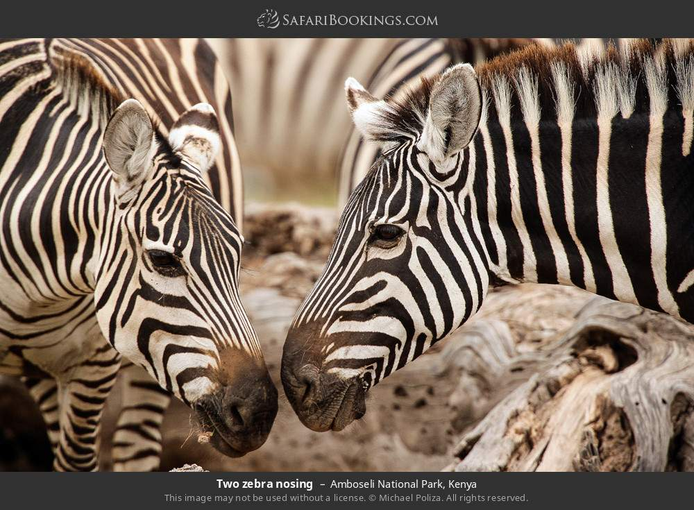 Two zebra nosing in Amboseli National Park, Kenya