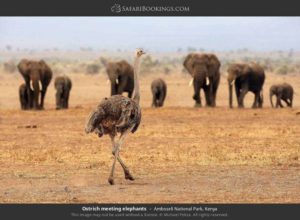 Ostrich meeting elephants in Amboseli National Park, Kenya