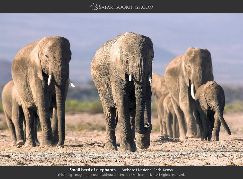 Small herd of elephants in Amboseli National Park, Kenya