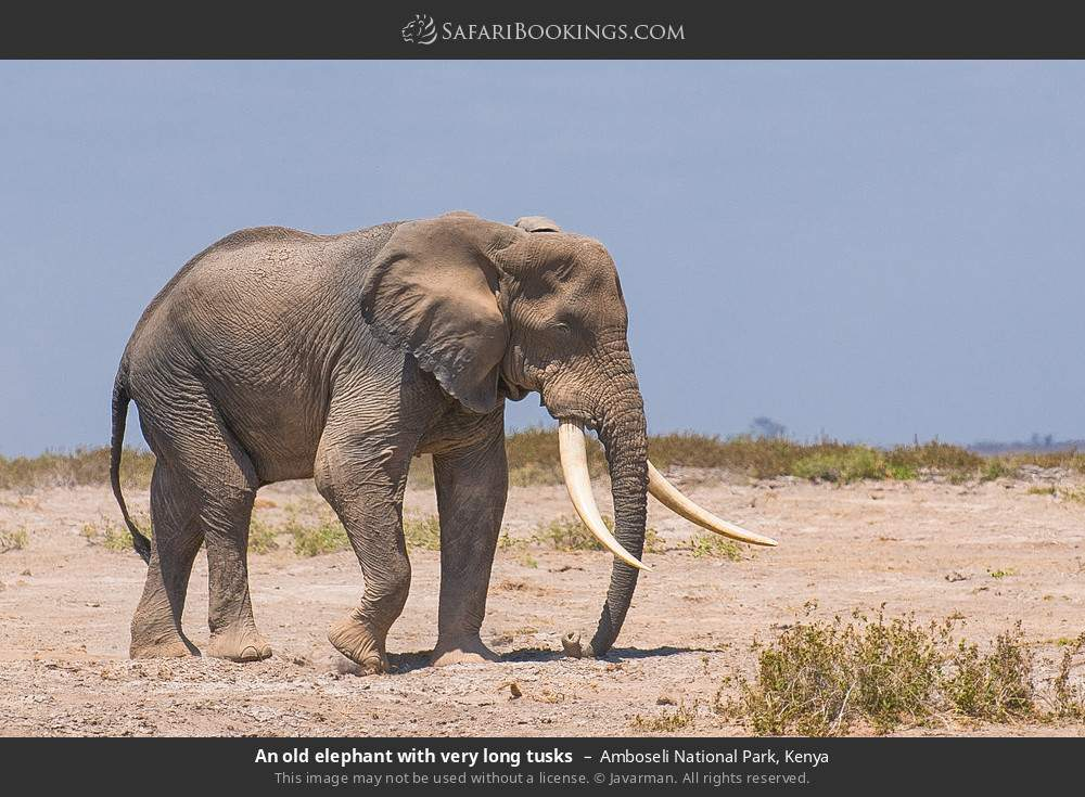 An old elephant with very long tusks in Amboseli National Park, Kenya