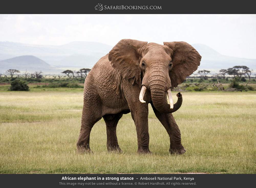 African elephant in a strong stance in Amboseli National Park, Kenya