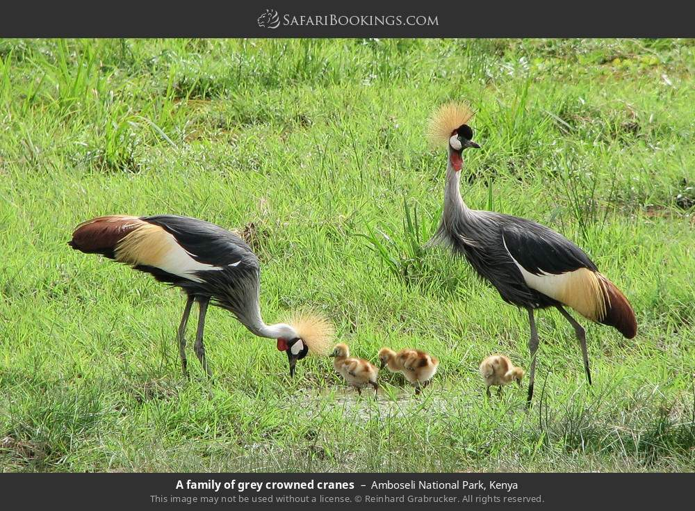A family of Crowned Cranes in Amboseli National Park, Kenya
