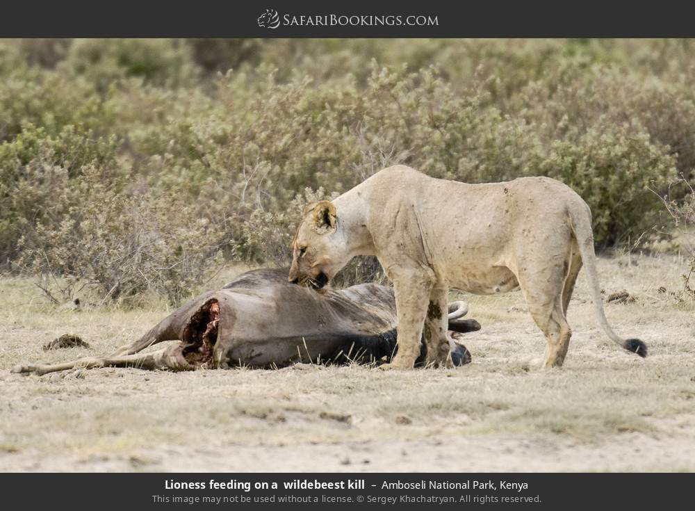 Lioness feeding on a  wildebeest kill in Amboseli National Park, Kenya