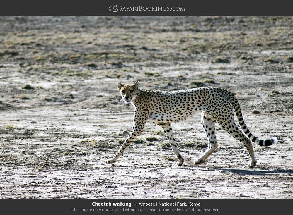 Cheetah walking in Amboseli National Park, Kenya