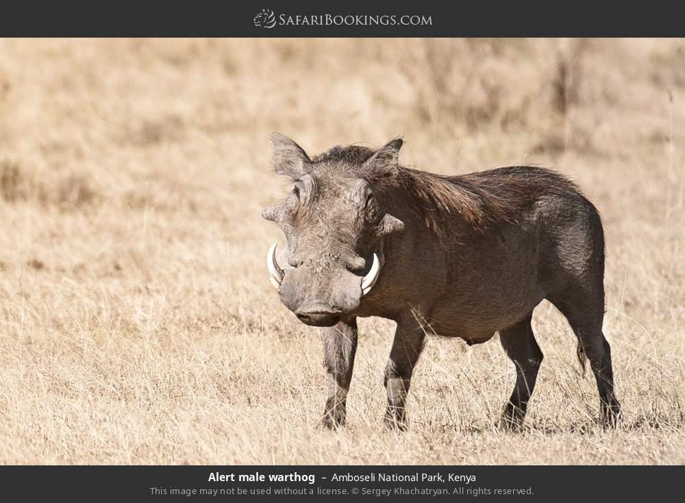 Alert male warthog in Amboseli National Park, Kenya