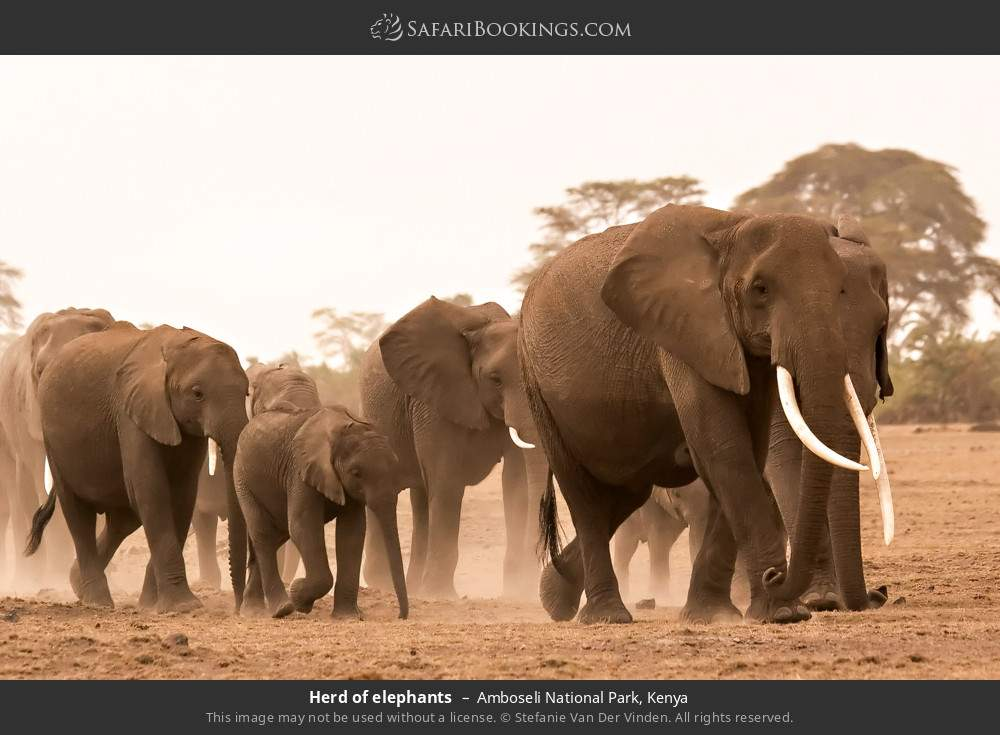 Herd of elephants in Amboseli National Park, Kenya