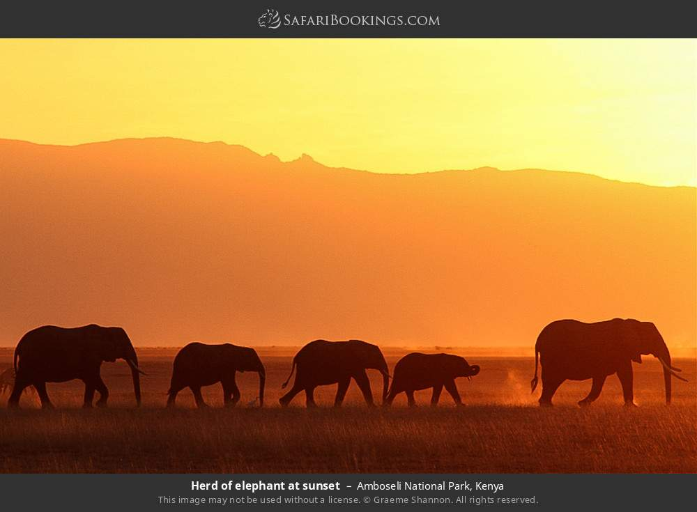 Herd of elephant at sunset in Amboseli National Park, Kenya