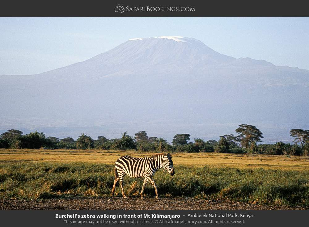 Burchell's zebra walking in front of Mt Kilimanjaro in Amboseli National Park, Kenya