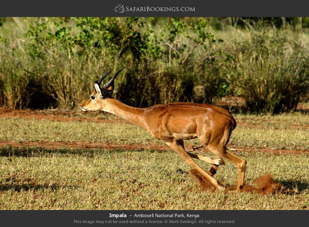Impala in Amboseli National Park, Kenya