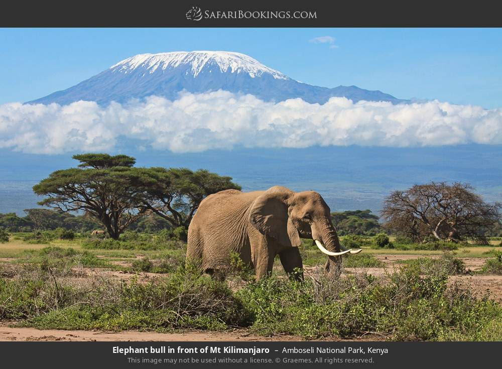 Elephant bull in front of Mount Kilimanjaro in Amboseli National Park, Kenya