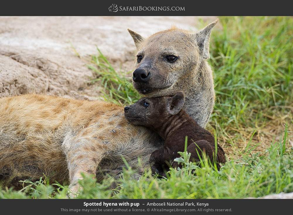 Spotted hyena with pup in Amboseli National Park, Kenya
